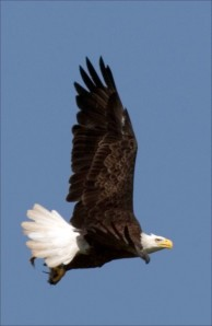 Bald eagle with blue sky